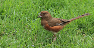 Young Female Towhee -water drop Royalty Free Stock Images