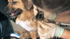 Young female volunteer shaving stray dog in shelter. People, Animals, Volunteering And Helping Concept. 4K close-up shot of young female volunteer shaving stray stock video footage