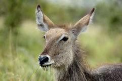 Young female waterbuck grazing Stock Image