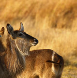 Young female Waterbuck Royalty Free Stock Images