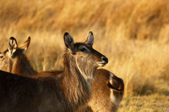 Young female Waterbuck. The Waterbuck is a gregarious animal found widely throughout Africa  This group is a nursery herd with females and youngsters their Stock Images