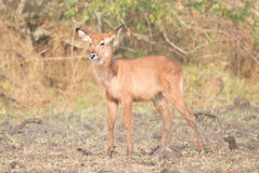 Young female waterbuck stands looking at camera Royalty Free Stock Images