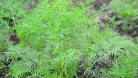 Young fennel in garden stock footage