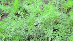 Young fennel in garden stock video footage