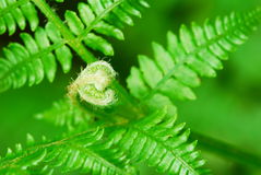 Young fern Royalty Free Stock Images