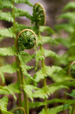 Young Fern Stock Photos
