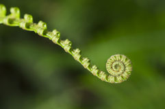 Young Fern Stock Photography