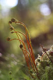 Young fern fronds Royalty Free Stock Photography