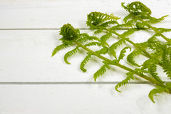 Young fern green leaves on white wooden background, copy space Royalty Free Stock Image
