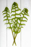 Young fern green leaves on white wooden background, copy space Royalty Free Stock Photo