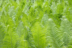 Free Young Fern In The Forest Stock Photo - 94657850