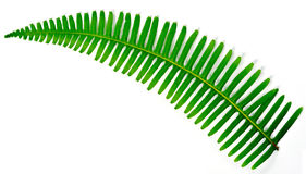 Young fern leaf. Isolated on white background Stock Images