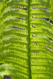 Young fern leaf Royalty Free Stock Images