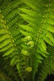Young fern leaf. (Dryópteris, Dryopteridaceae) Royalty Free Stock Image