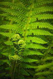 Young fern leaf. (Dryópteris, Dryopteridaceae) Royalty Free Stock Images