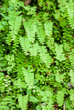 Young fern leaf. Royalty Free Stock Photography