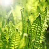 Young fern leaves. Abstract with sunny light Stock Photography