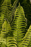 Young fern leaves backlit by sunlight Royalty Free Stock Photos