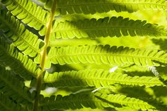 young fern plant royalty free stock images