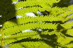 young fern plant stock images