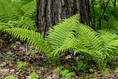 Young fern plants Royalty Free Stock Image
