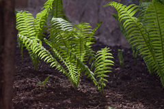 Young fern shoots in cultivated soil Royalty Free Stock Photos