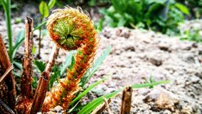 Young fern. Soon this little baby will become an adult fern Royalty Free Stock Photography