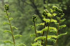 Young ferns on blurred green background. In a mountain forest, in Transylvania, Romania Stock Image