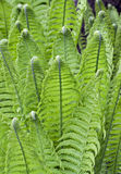 Young ferns macro stock photo