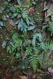Young Ferns and moss growing in a rainforest Royalty Free Stock Image