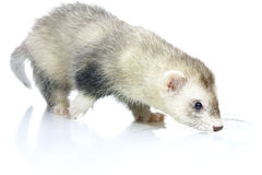 Young ferret. Royalty Free Stock Photo