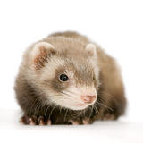 Young Ferret stock photography