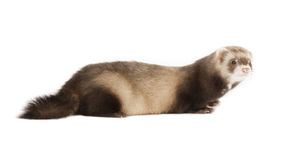 Young ferret Royalty Free Stock Image