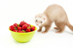 Young ferret with a bowl of strewberry over white. Stock Photos