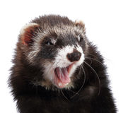 Young ferret isolated Royalty Free Stock Images