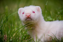 Young Ferret Kit outside in grass Stock Photos