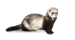 Young ferret Royalty Free Stock Photo