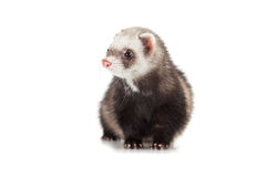 Young ferret Royalty Free Stock Photos