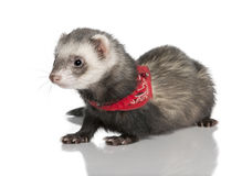 Young ferret wearing a red scarf Stock Image