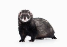 Young ferret on white background Royalty Free Stock Images