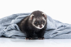 Young ferret on white background Royalty Free Stock Image