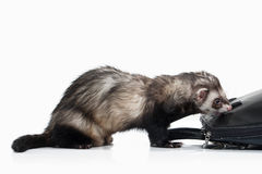 Young ferret on white background Stock Photography