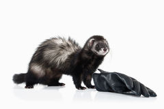 Young ferret on white background Stock Image