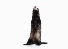 Young ferret on white background Royalty Free Stock Photos