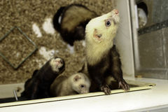 Young  ferrets Stock Photo