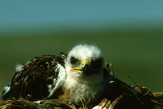 Young Ferruginous Hawk Stock Photography