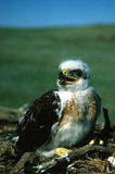 Young Ferruginous Hawk. A young ferrugious hawk standing on its nest Royalty Free Stock Photos