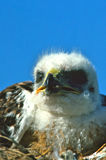 Young Ferruginous Hawk Royalty Free Stock Photo