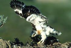 Free Young Ferruginous Hawk Royalty Free Stock Image - 9487816