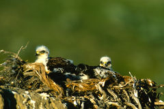 Young Ferruginous Hawks in Nest Stock Photography